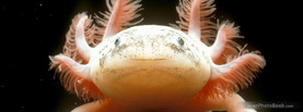 Albino Salamander Underwater, Free Facebook Timeline Profile Cover, Animals