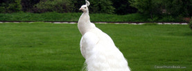 Beautiful White Peacock, Free Facebook Timeline Profile Cover, Animals