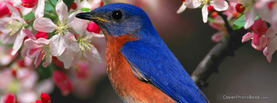 Blue Sparrow, Free Facebook Timeline Profile Cover, Animals