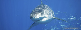 Great White Shark 2, Free Facebook Timeline Profile Cover, Animals