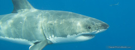 Great White Shark 3, Free Facebook Timeline Profile Cover, Animals