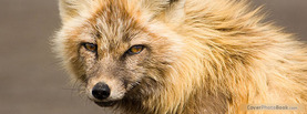 Red Fox, Free Facebook Timeline Profile Cover, Animals