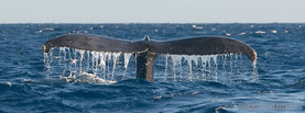 Whale Tail, Free Facebook Timeline Profile Cover, Animals