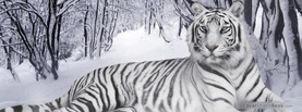 White Tiger, Free Facebook Timeline Profile Cover, Animals