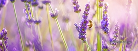 Bee Lavender Flowers in Sunlight, Free Facebook Timeline Profile Cover, Nature