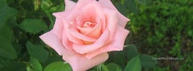 Pink Rose and Green Nature, Free Facebook Timeline Profile Cover, Nature