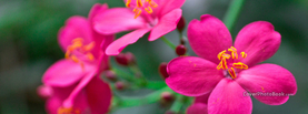 Radiant Saturated Pink Flowers, Free Facebook Timeline Profile Cover, Nature