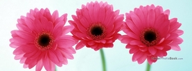 Three Pink Daisies, Free Facebook Timeline Profile Cover, Nature