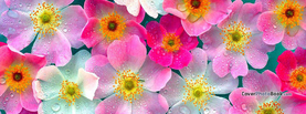 Translucent Flowers Pink White Water Drops, Free Facebook Timeline Profile Cover, Nature