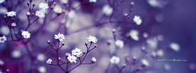 White Flowers on Branches Purple, Free Facebook Timeline Profile Cover, Nature
