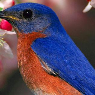 Blue Sparrow Facebook Cover - Animals | 315 x 315 jpeg 26kB