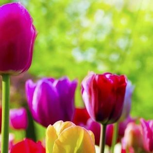 Spring Rainbow Color Tulips Flowers Facebook Cover - Nature | 315 x 315 jpeg 15kB