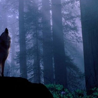 Wolf Dark Forest Facebook Cover - Nature